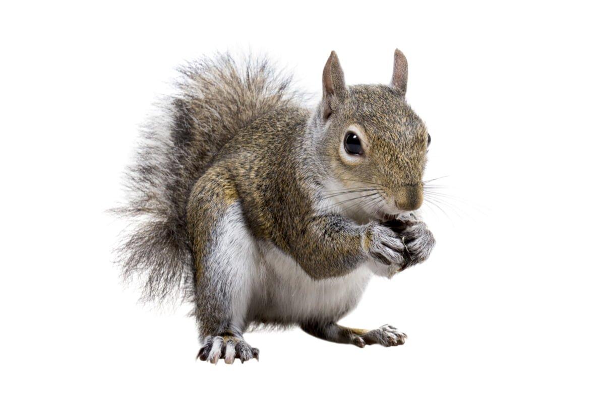 Écureuil gris de l'est