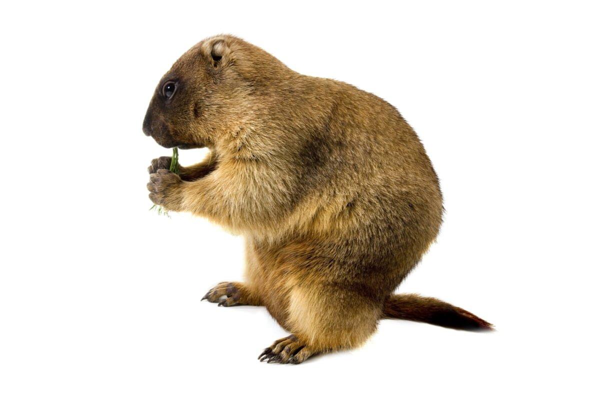 9-marmotte