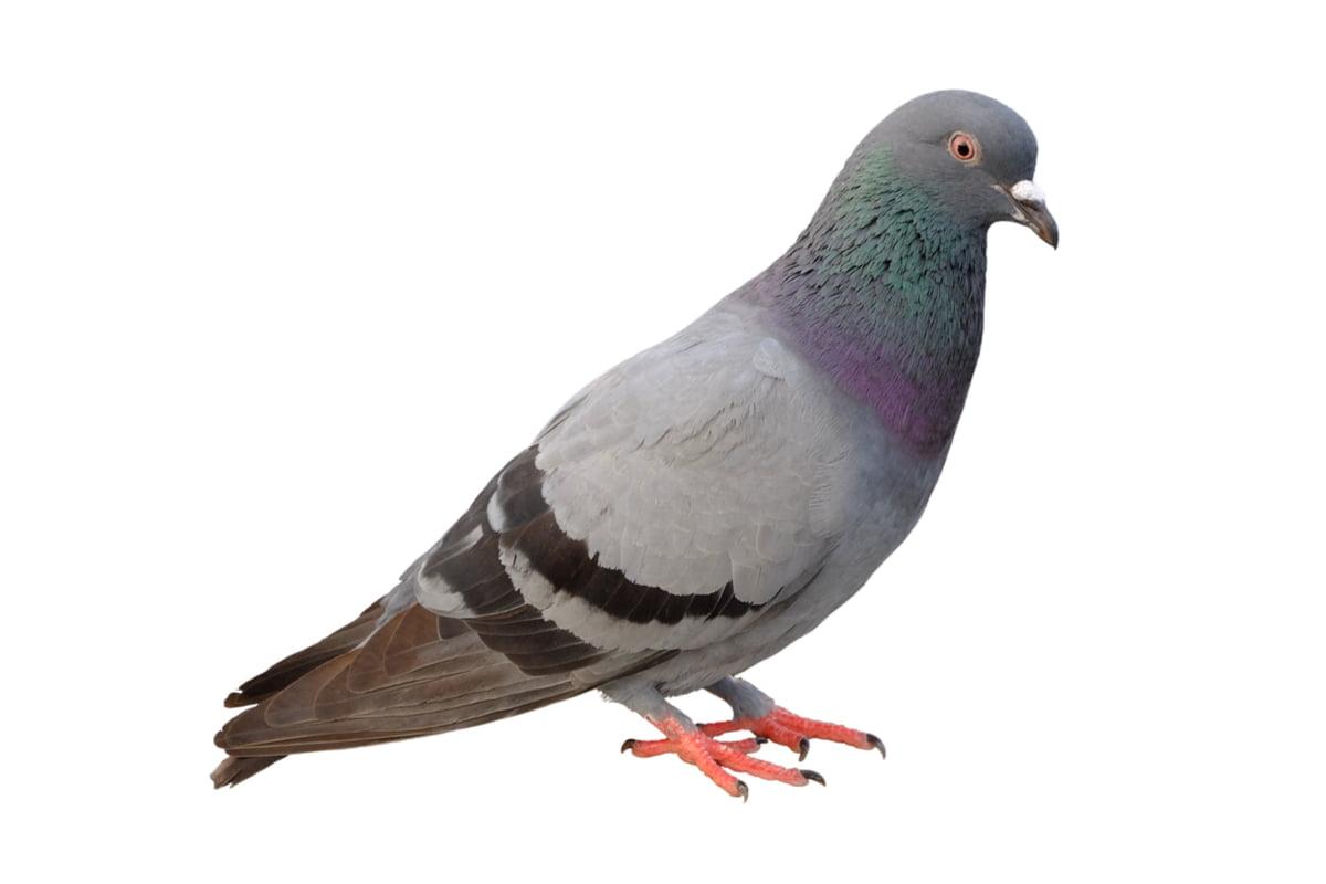 15-Pigeon