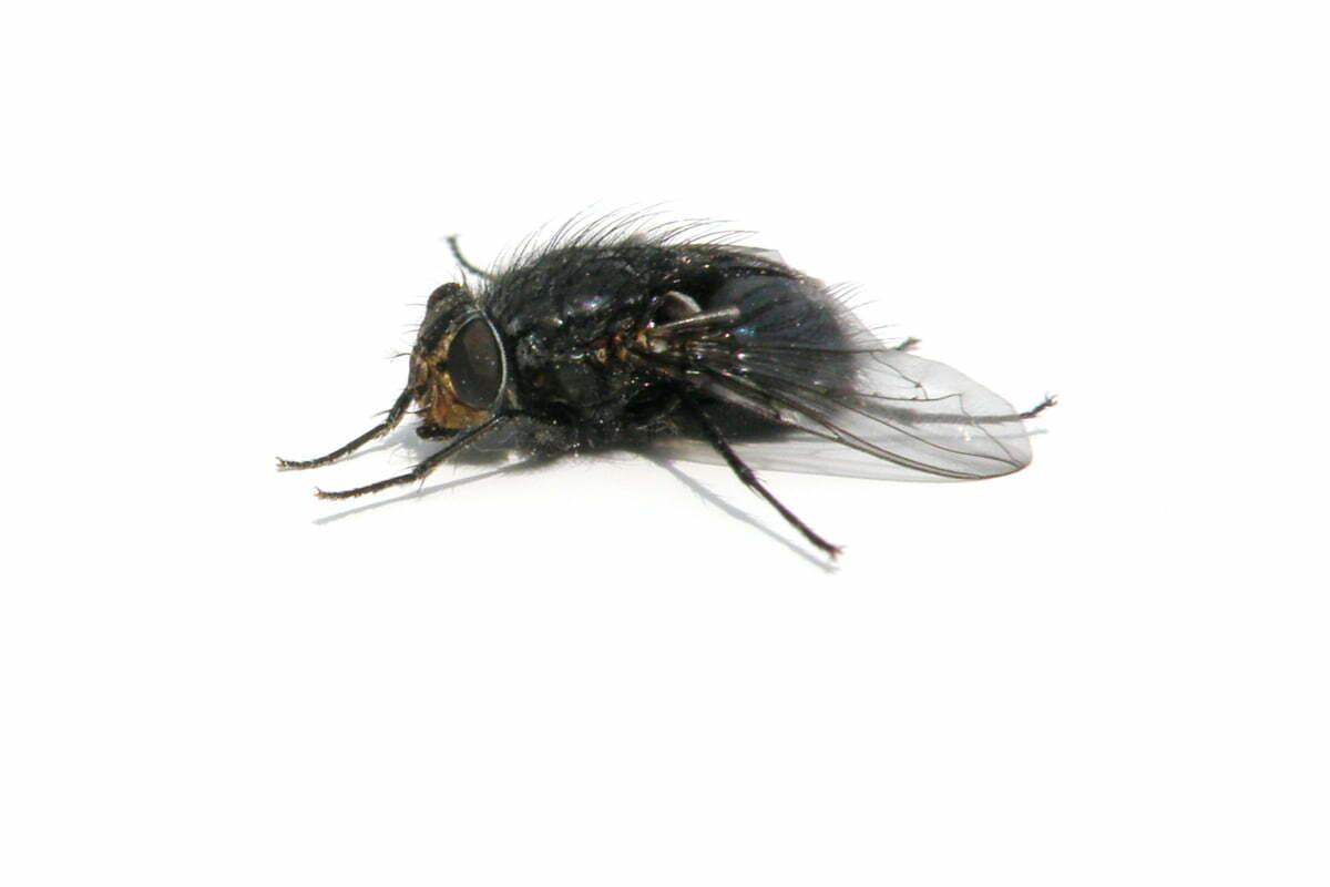 Une mouche pollénie sur fond blanc