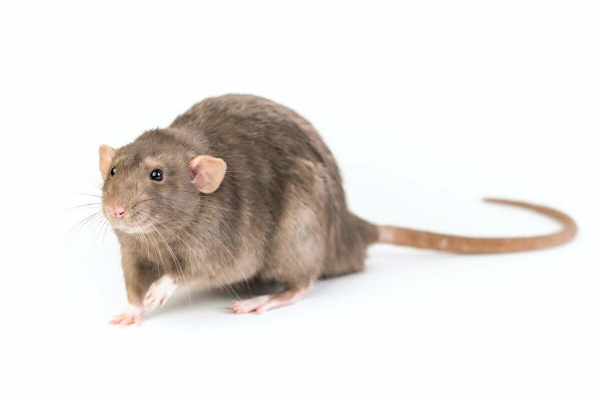 19-rat-degout