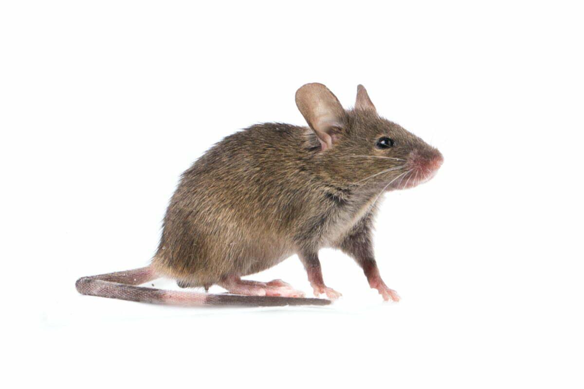 Une souris commune sur fond blanc